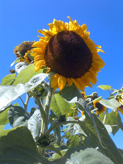 cevennes-sunflower
