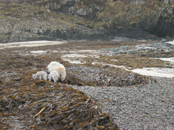 foraging-sheep-on-tideline